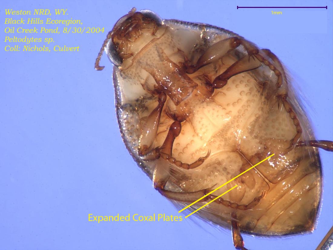 Ventral Peltodytes