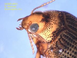 Crawling water beetle